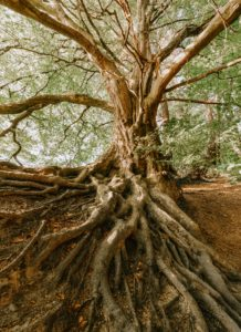 Tree growing with deep roots in forrest